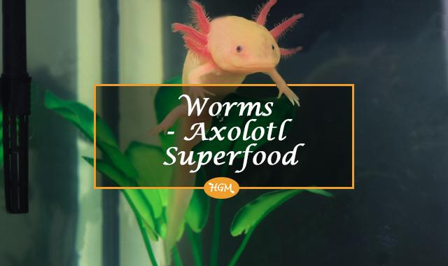 Earthworms for Axolotls